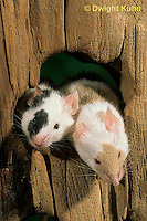 MU50-018x  Pet Mouse - exploring