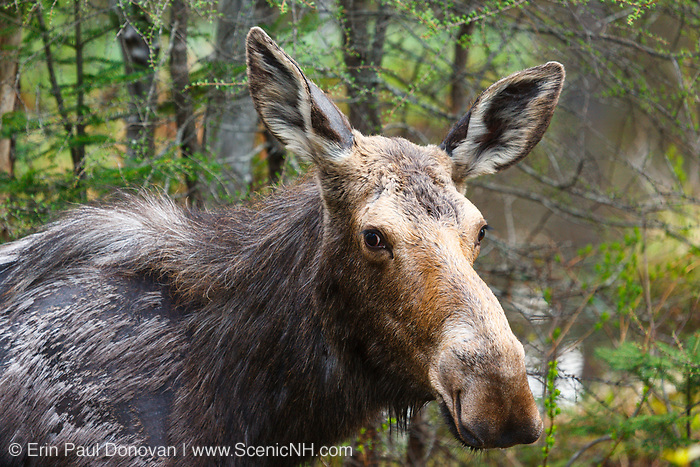 Moose on the side of the Kancamagus Highway (Route 112) in the White Mountains, New Hampshire during the spring months.