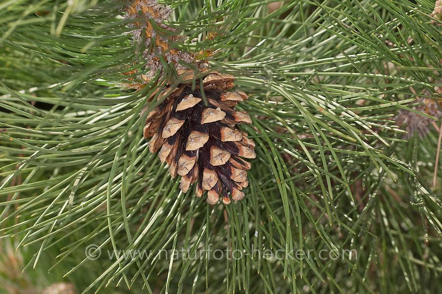Schwarz-Kiefer, Schwarzkiefer, Kiefer, Zapfen, Kiefernzapfen, Pinus nigra, Pinus austriaca, Black Pine