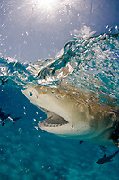 Lemon shark, Negaprion brevirostris, split view, close up of snout, teeth and eye, with nictitating membrane, Bahamas, Caribbean Sea, Atlantic Ocean