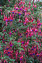 """Fuchsia 'Enfant Prodigue', mid October. """"A large and vigorous hardy fuchsia with long, leafy stems that gently arch over under the sheer weight of flowers. Carried in looose clusters, pointed bright-red buds hang gracefully before splitting open, splaying the four red sepals horizontally to reveal a fat, rich, velvety purple skirt of unfurling petals. The male stamens and the long female pistil, both identical in colour to the sepals, protrude prominently from the centre making an exquisite shape. Free-flowering right until the first frosts, rich in colour, and refined with great poise, this is a cut above the rest... Bred in 1887 by Lemoine in France."""" [Fergus Garrett, Great Dixter, Nurseryman's Favourites, Gardens Illustrated magazine, October 2013]"""