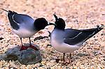 LAVA GULL, Larus fuliginosus, GALAPAGOS ISLANDS, ECUADOR (IUCN VULNERABLE)