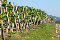 vineyard domaine g humbrecht pfaffenheim alsace france