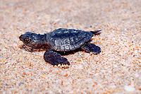 Kemp's ridley sea turtle hatchling, Lepidochelys kempii, crawls down beach toward ocean, Rancho Nuevo, Mexico, Gulf of Mexico, Caribbean Sea, Atlantic Ocean