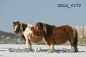 Bob, ANIMALS, REALISTISCHE TIERE, ANIMALES REALISTICOS, horses, photos+++++,GBLA4378,#a#, EVERYDAY
