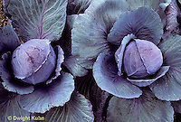 HS37-036a  Red Cabbage - Lasso variety