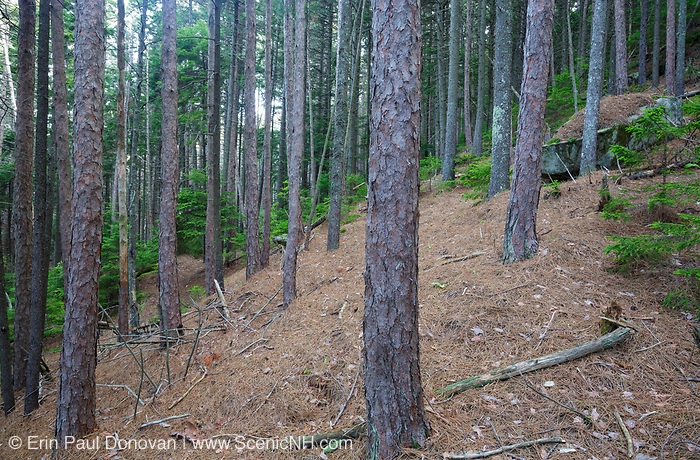Red pine forest on Black Mountain along the Chippewa Trail during the summer months in Benton, New Hampshire.