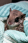 10-12 week old southern flying squirrel wrapped in blanket at the New England Wildlife Center in Barnstabe, Massachusetts.  Head and neck only, vertical.