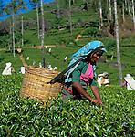 Sri Lanka, near Nuwara Eliya: Tea Plantation - Tea pluckers | Sri Lanka, bei Nuwara Eliya: Teeplantage - Teepflueckerin
