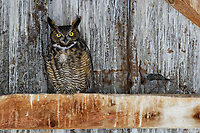 Adult male Great Horned Owl (Bubo virginianus) roosting in an abandoned barn. Idaho, USA. February.