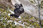 Adult bald eagle (Haliaeetus leucocephalus) taking off. Yellowstone National Park, Wyoming, USA.