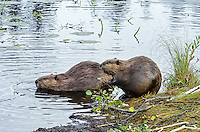 Two North American Beaver (Castor canadensis) at communal feeding area along edge of pond.  Northern Rockies,  Fall.  Beaver often have a regular (usually several) feeding area within their home territory where they will bring small limbs to feed on.