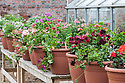Geraniums and pelargoniums in containers, mid May.