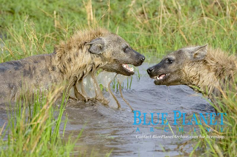 Spotted Hyena (Crocuta crocuta), two adults, playing in water, Masai Mara, Kenya, Africa