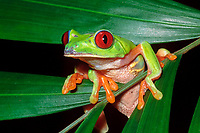 red-eyed tree frog, Agalychnis callidryas, Belize, Caribbean, Atlantic, Atlantic Ocean red-eye, Caribbean, Atlantic