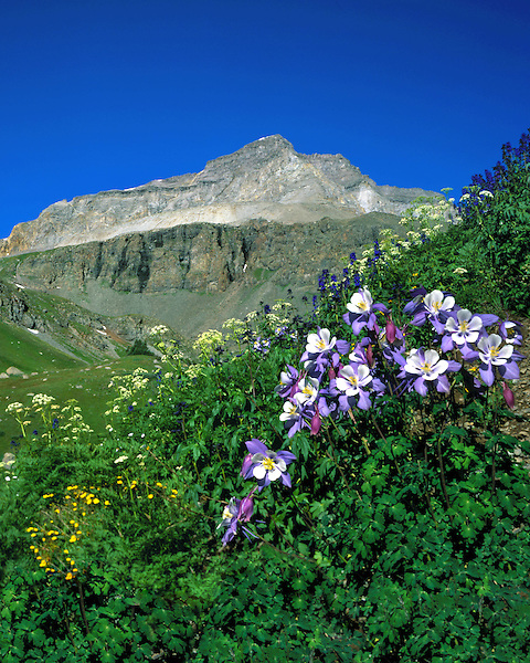 Columbine wildflowers in Yankee Boy Basin, Ouray, Colorado, USA. John guides custom photo tours in the Sneffels Range and throughout Colorado.