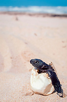 Kemp's ridley sea turtle hatchling, Lepidochelys kempii (endangered), in egg shell (removed from nest which failed to hatch), Rancho Nuevo, Mexico, Gulf of Mexico, Atlantic Ocean