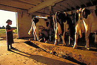Amish girl in a cow shed with three dairy cows. Girl. Strasburg Pennsylvania USA Lancaster County.