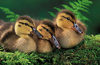 Mallard ducklings. Summer. Pacific Northwest..(Anas platyrhynchos).