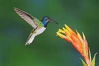 White-necked Jacobin (Florisuga mellivora), male feeding on bromeliad flower,Mindo, Ecuador, Andes, South America