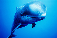 short-finned pilot whale, Globicephala macrorhynchus, Kona Coast, Big Island, Hawaii, USA, Pacific Ocean Ocean