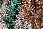Juvenile leaves of an aroid at Cape Tribulation, Australia.
