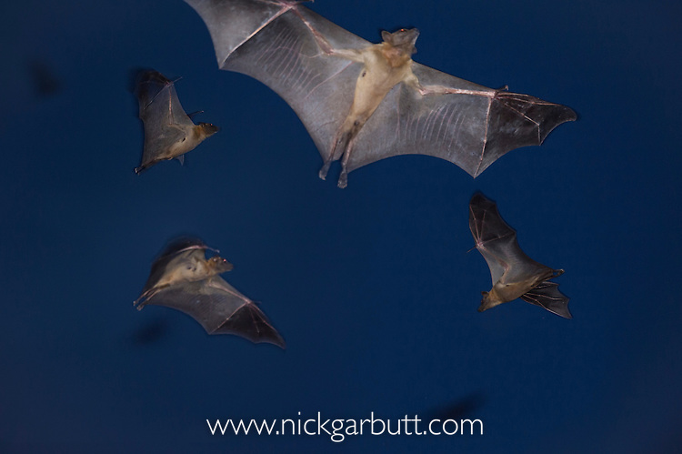 Straw-coloured Fruit Bats (Eidolon helvum) leaving thier roost site at dusk. Kasanka National Park, Zambia.