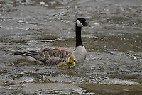 Canada Geese with gosling float down the Tobacco River in Montana