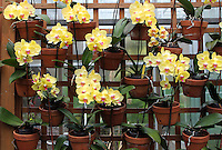 """Stock photo: Gorgeous yellow orchids planters arranged on a wooden mesh fence.<br /> <br /> A Black & white Fine Art version of this image is available! <br /> <br /> Search for """"Orchid"""" in the Gallery - """"Black & White"""""""