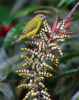 Female thick-billed euphonia