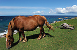 Wild horses in Cape Shiriyazaki. Aomori Prefecture. Japan.<br /> <br /> Chevaux sauvages au cap Shiriyazaki. Préfecture d'Aomori. Japon.