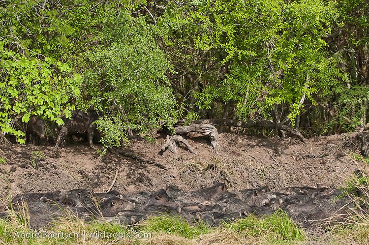 White-lipped Peccaries (Tayassu pecari) taking a mud bath at noon, tropical dry forest during dry season, Kaa-Iya del Gran Chaco National Park, Santa Cruz, Bolivia.