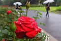 Japanese hydrangea flowers get wet in the rain