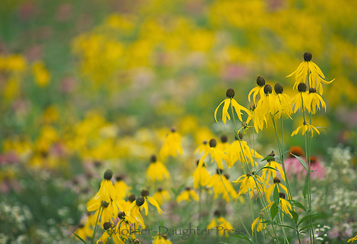 Rudibeckia- Black eyed susans in profile glowing in late afternoon light, Midwest USA