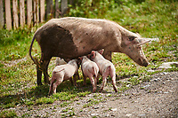 Piglets suckling, Ushguli, Upper Svaneti, Samegrelo-Zemo Svaneti, Mestia, Georgia.