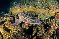 blotchy swellshark, Japanese swellshark, Cephaloscyllium umbratile, Yawatano, Sagami Bay, Izu Peninsula, Shizuoka, Japan, Pacific Ocean