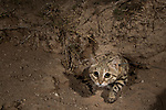 Black-footed Cat (Felis nigripes) male emerging from den at night, Benfontein Nature Reserve, South Africa