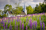 A field of Lupines adorns a country church in Sugar Hill, NH, USA