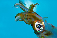 The Oval Squid (Sepioteuthis lessoniana) is a favorite attraction at the Waikiki  Aquarium
