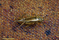 OR09-004b   Cricket - house cricket - Acheta domestica