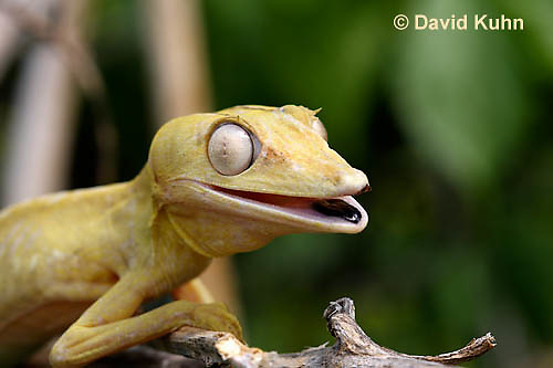 0504-0803  Lined Leaf-tailed Gecko, Vocalization by Barking, Uroplatus lineatus © David Kuhn/Dwight Kuhn Photography