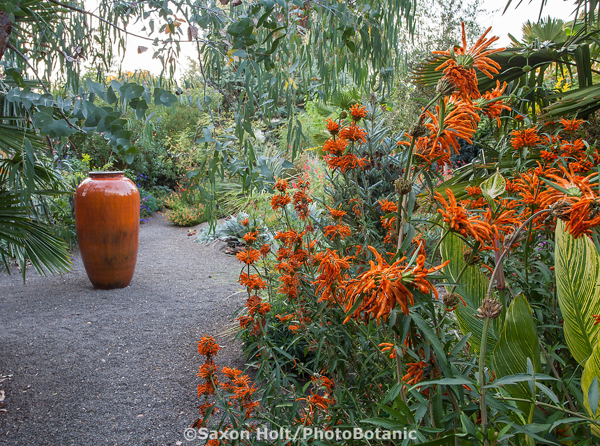 Tall orange accent container in gravel patio with Leonotis leonurus, Lion's Tail; Kuzma Garden. Photo MUST be credited as Design by Sean Hogan.