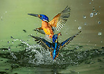 Kingfishers race to catch fish by Handi Nugraha