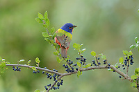 Painted Bunting (Passerina ciris), adult male perched on Elbow bush (Forestiera pubescens) with berries, Hill Country, Texas, USA