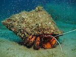 Kenting, Taiwan -- Huge hermit crab, 'charging like a German tank', as my dive buddy put it.