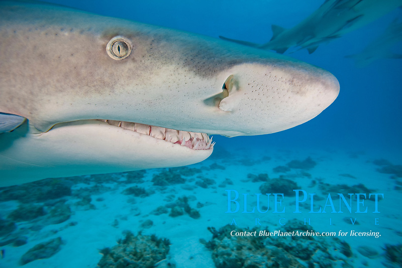 A close look at the head of a lemon, shark, Negaprion brevirostris, underwater with remora, West End, Grand Bahamas, Atlantic Ocean.