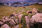 Elk, Rocky Mountain National Park, Colorado, USA
