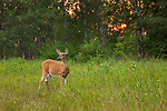 The sun sets in the background as a white-tailed doe browses in a northern Wisconsin meadow.