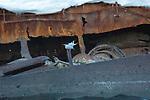 Arctic Tern & Wreckage Of The Ship Gouvernoren, in Foyn Harbor