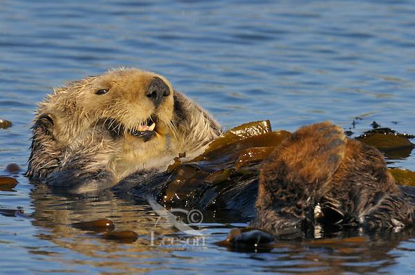 Sea Otter (Enhydra lutris) resting in kelp.